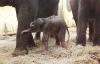 Das erste von vier Elefantenbabys ist da!